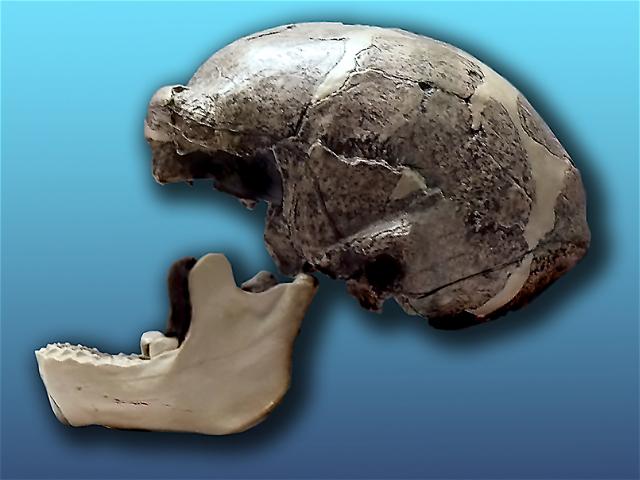 最初の北京原人の頭蓋骨