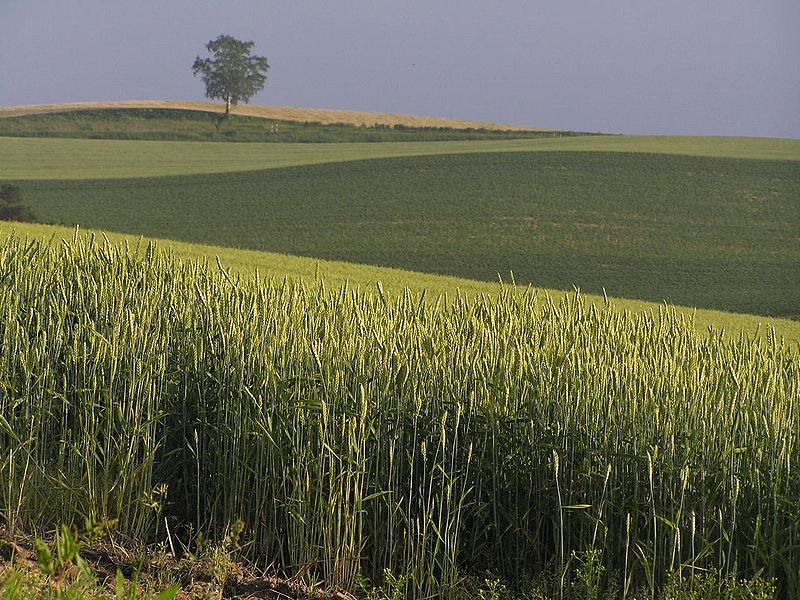 美瑛町の夏の小麦畑